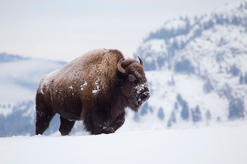 United States Names Bison as National Mammal - Comanche Nation Entertainment